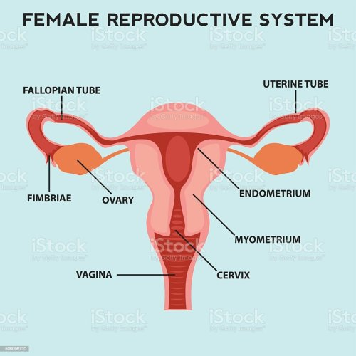 small resolution of female reproductive system image diagram royalty free female reproductive system image diagram stock vector