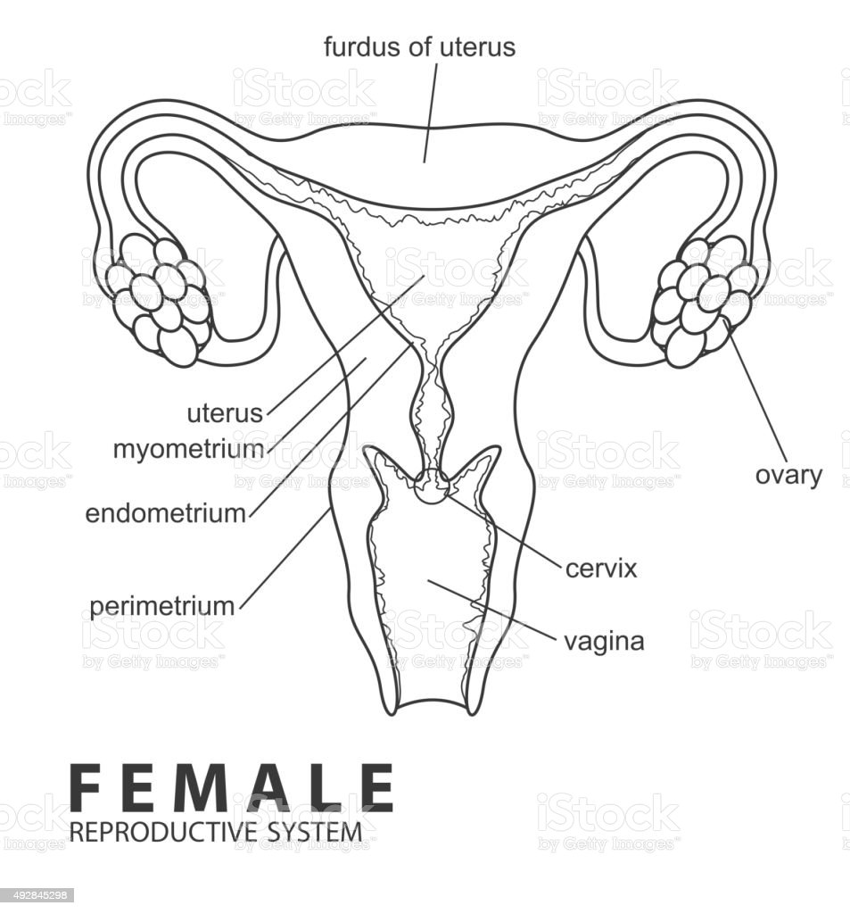 Female Reproductive System Stock Vector Art & More Images