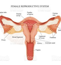 female reproductive system royalty free female reproductive system stock vector art amp more images [ 1024 x 802 Pixel ]