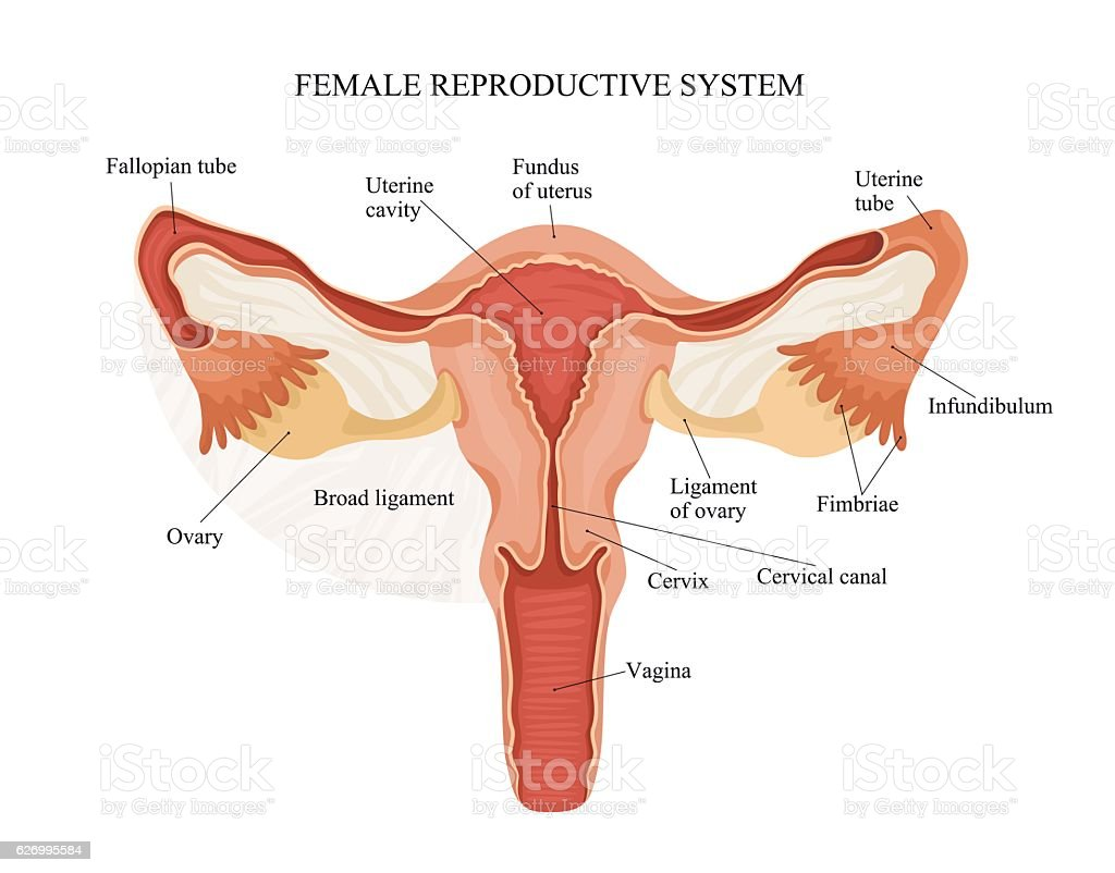 hight resolution of female reproductive system royalty free female reproductive system stock vector art amp more images