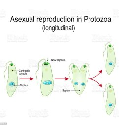 fission or asexual reproduction in protozoa euglena division illustration  [ 1024 x 1024 Pixel ]