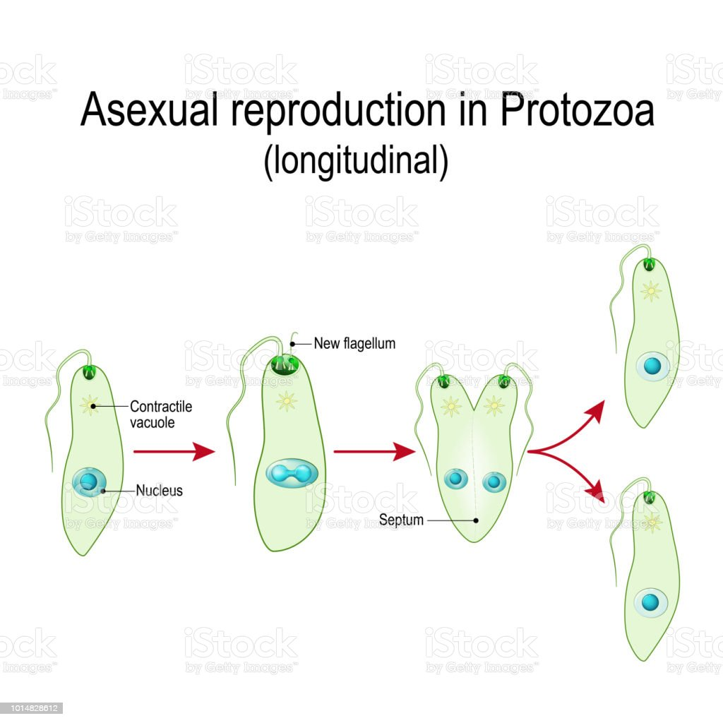hight resolution of fission or asexual reproduction in protozoa euglena division illustration