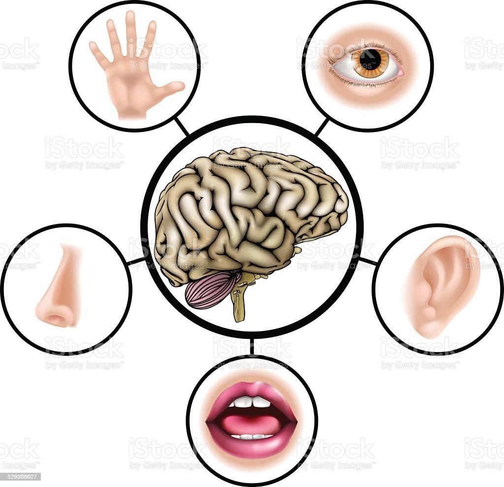 five senses diagram 2006 chevy colorado headlight wiring 五感の脳 genericのベクターアート素材や画像を多数ご用意 529368627 istock