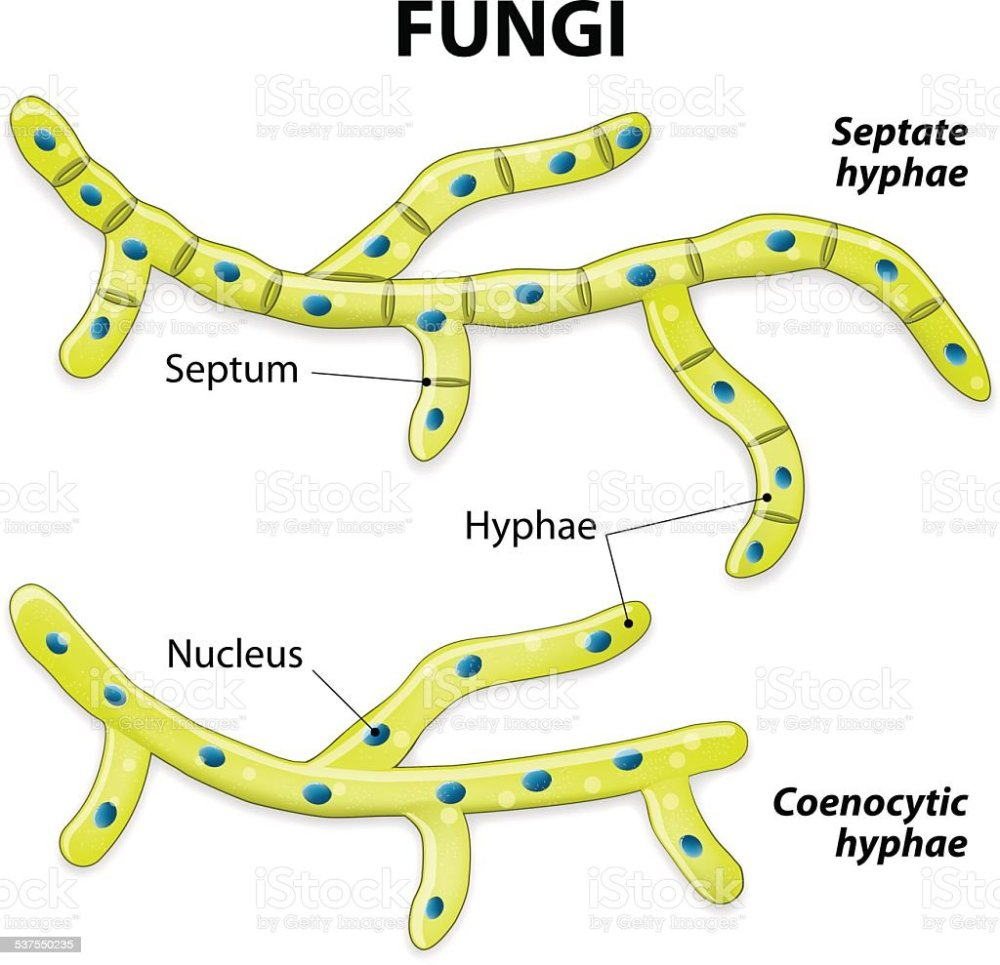 medium resolution of fungi classification based on cell division royalty free fungi classification based on cell division