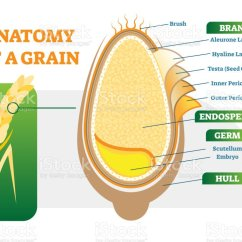 Grain Kernel Diagram Cat6 Wiring 568a Royalty Free Whole Clip Art Vector Images Anatomical Layers Illustration