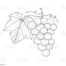 Grapes Outline Hand Drawn Sketch Stock Illustration Download Image Now iStock