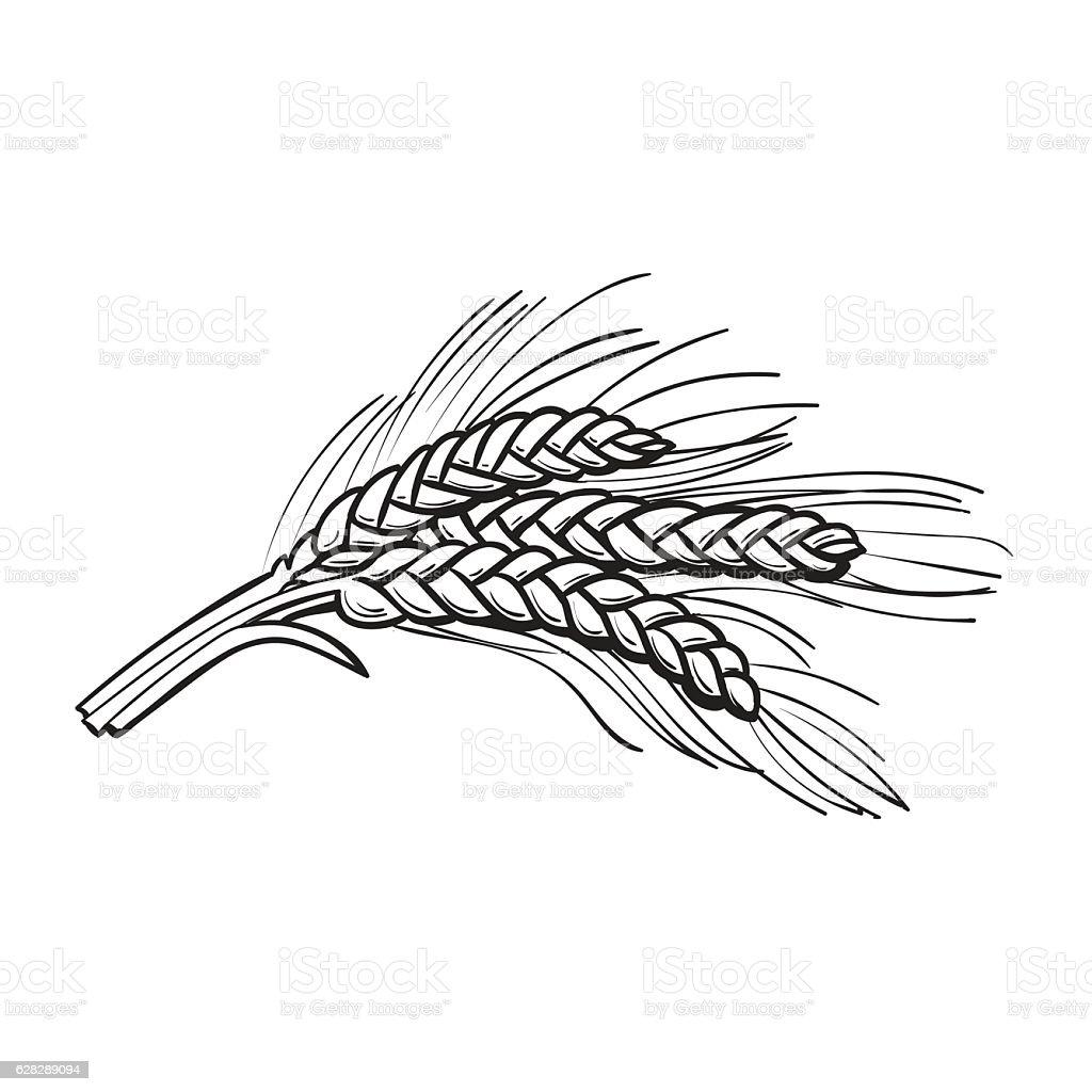 Hand Drawn Bunch Of Malt Barley Ears Stock Vector Art