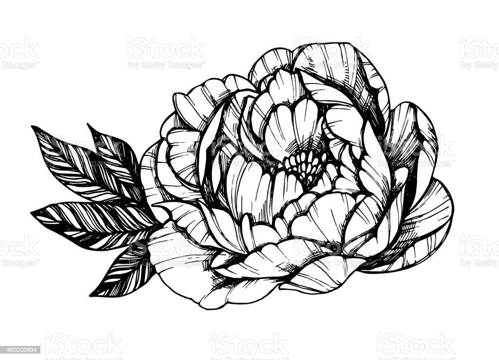 Ilustración De Mano Dibujado Vector Ilustración Flor De Peonía