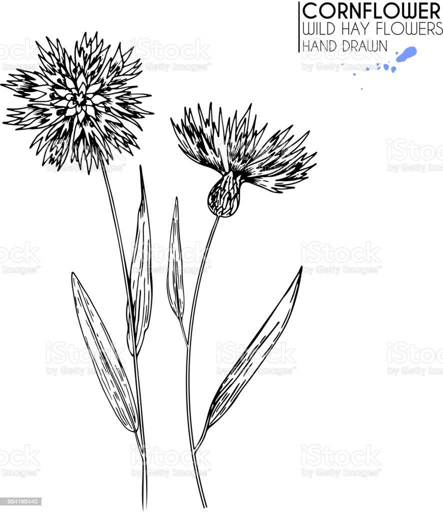 Hand Drawn Wild Hay Flowers Cornflower Flower Medical Herb