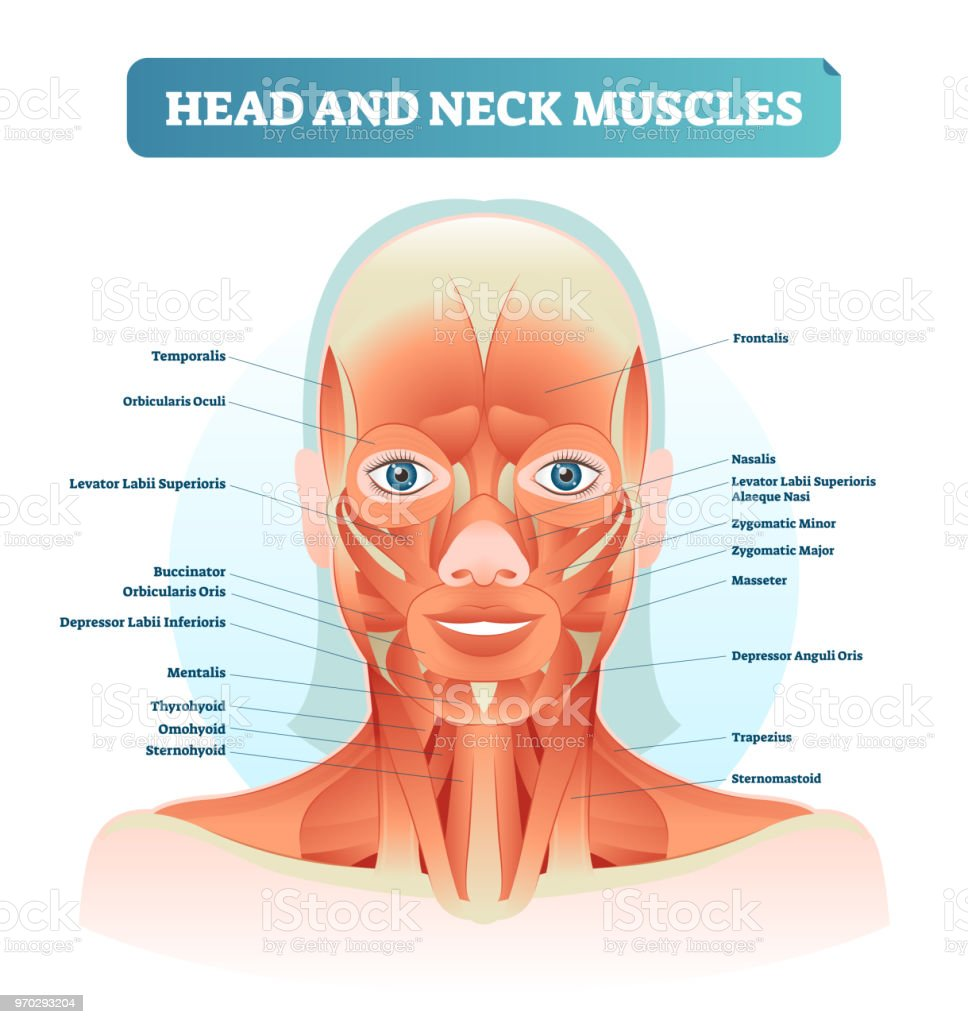hight resolution of head and neck muscles labeled anatomical diagram facial vector illustration with female face health care educational information poster illustration