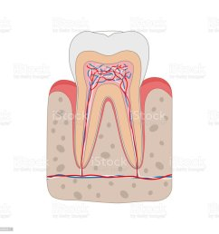 healthy tooth diagram isolated on white background tooth cross section and anatomy of gum medical [ 1024 x 1024 Pixel ]