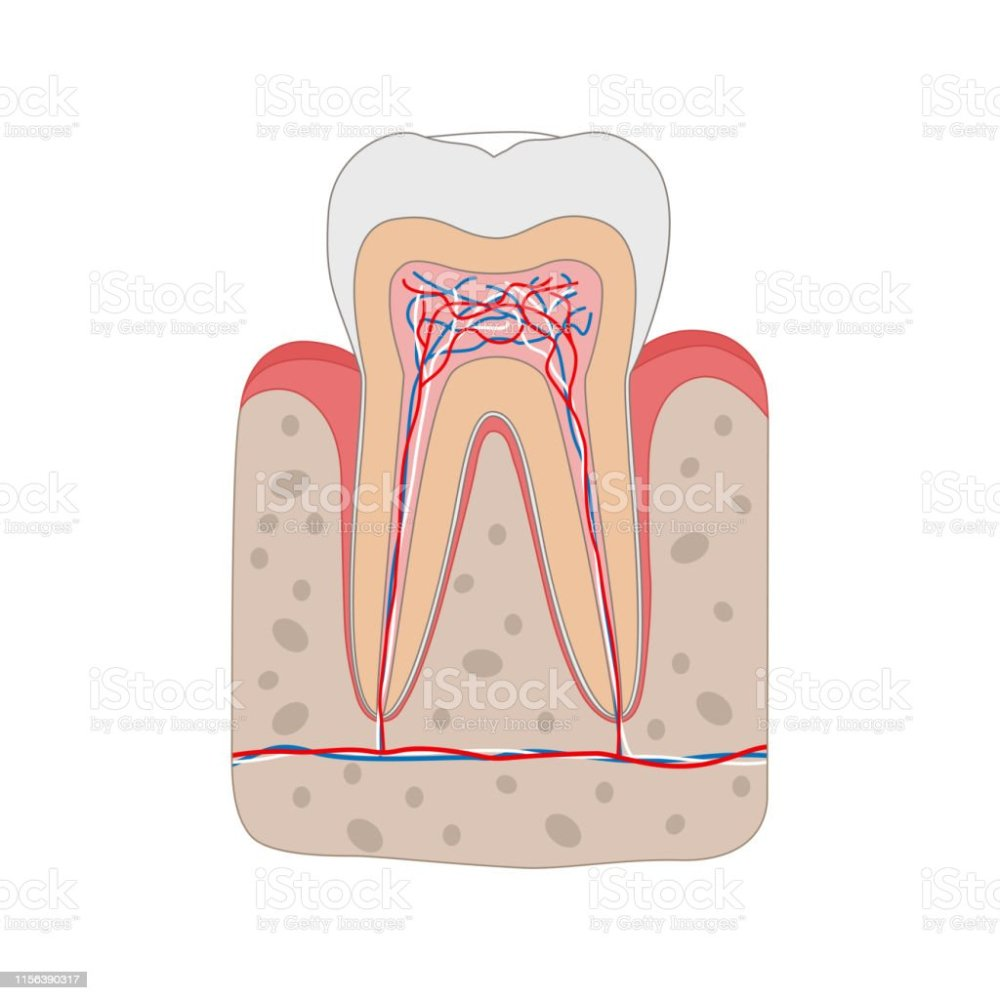 medium resolution of healthy tooth diagram isolated on white background tooth cross section and anatomy of gum medical