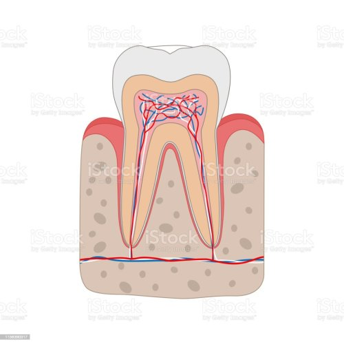 small resolution of healthy tooth diagram isolated on white background tooth cross section and anatomy of gum medical