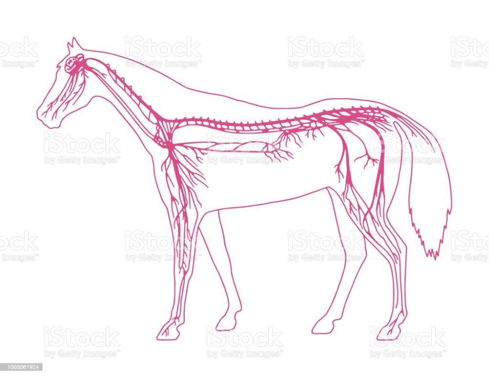medium resolution of horse diagram royalty free horse diagram stock vector art amp more images of anatomy
