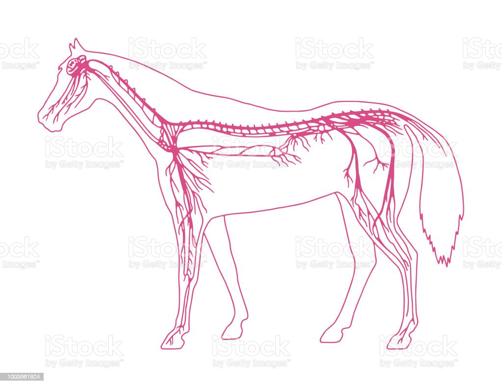 hight resolution of horse diagram royalty free horse diagram stock vector art amp more images of anatomy