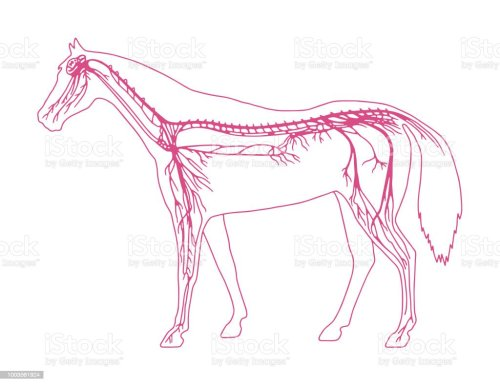 small resolution of horse diagram royalty free horse diagram stock vector art amp more images of anatomy