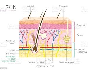 Human Anatomy Skin And Hair Diagram Stock Vector Art