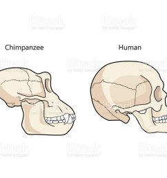 human and chimpanzee skull biology and anatomy vector illustration illustration  [ 1024 x 850 Pixel ]