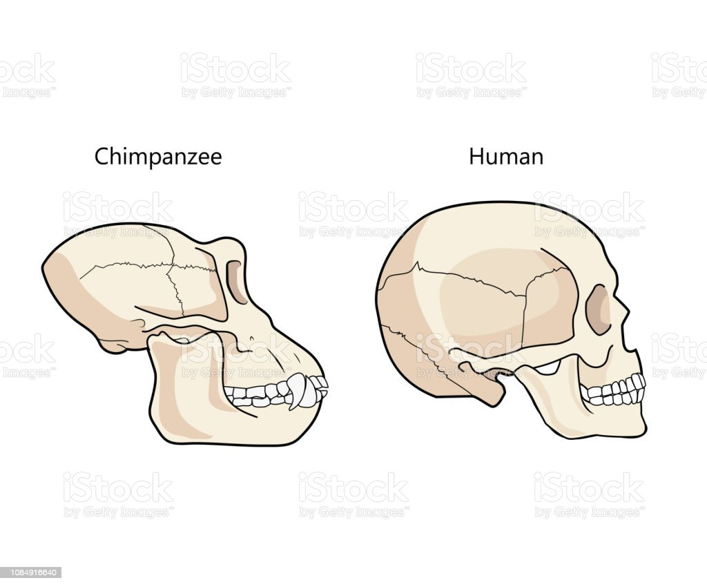 hight resolution of human and chimpanzee skull biology and anatomy vector illustration illustration