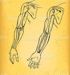human arm royalty free human arm stock vector art amp more images of anatomy [ 768 x 1024 Pixel ]