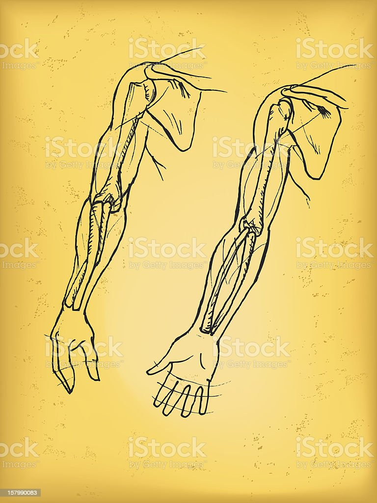 hight resolution of human arm royalty free human arm stock vector art amp more images of anatomy
