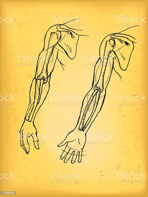 small resolution of human arm royalty free human arm stock vector art amp more images of anatomy