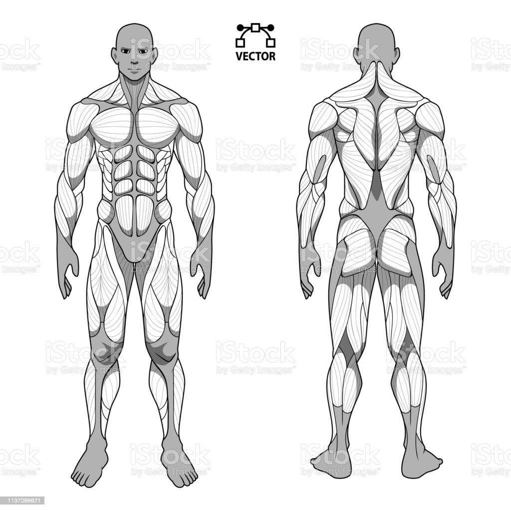 Human Body Anatomy Male Man Front And Back Muscular System