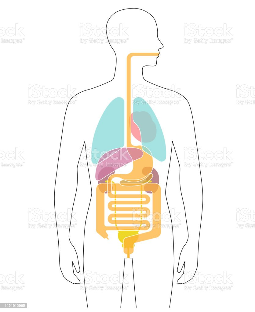 hight resolution of human body internal organs illustration lungs heart liver stomach etc
