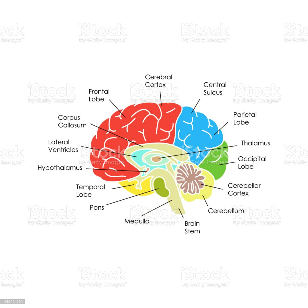 hight resolution of human brain anatomy card poster vector royalty free human brain anatomy card poster vector