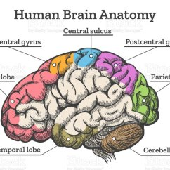 Internal Brain Diagram Nissan Altima Parts Human Anatomy Stock Vector Art More Images Of Illustration