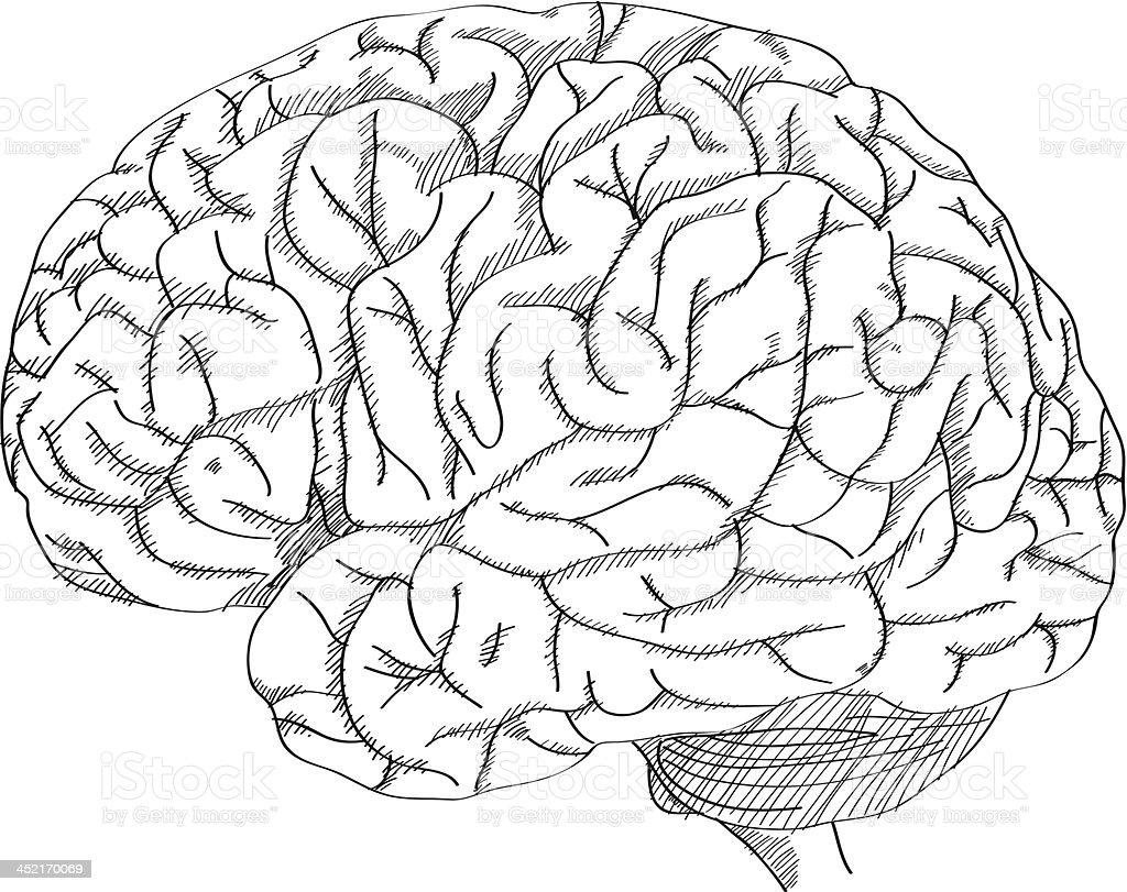 Human Brain Vector Outline Sketched Up Stock Illustration