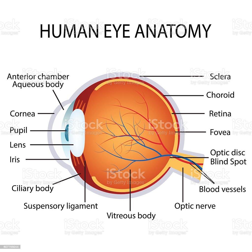 human eye anatomy stock
