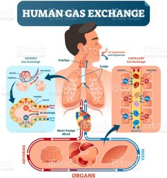 human gas exchange system vector illustration oxygen travel from lungs to heart to all [ 900 x 1024 Pixel ]
