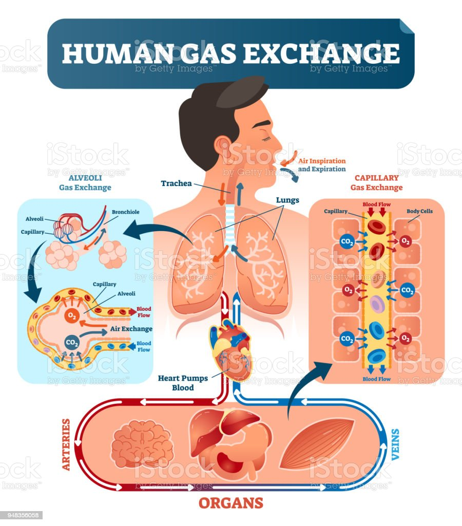 medium resolution of human gas exchange system vector illustration oxygen travel from lungs to heart to all