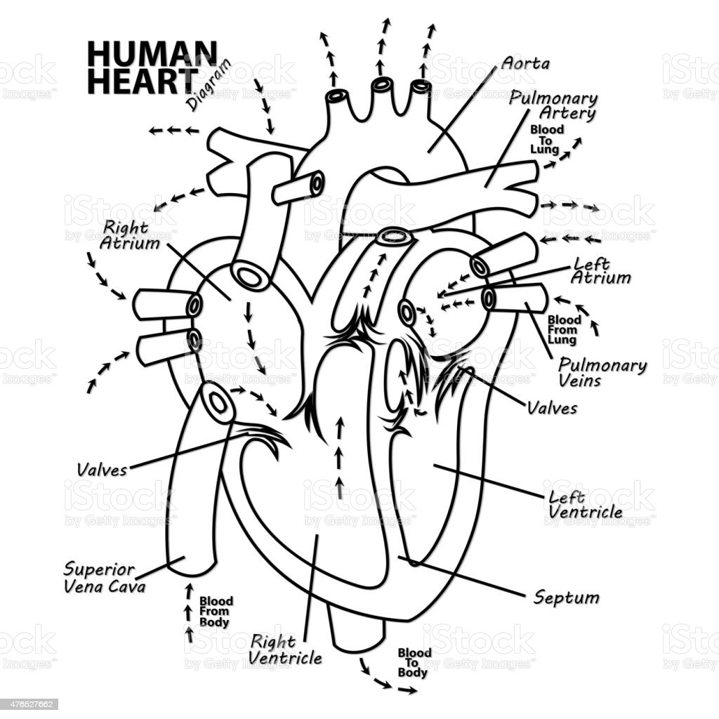 hight resolution of human heart diagram anatomy tattoo royalty free human heart diagram anatomy tattoo stock vector art
