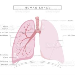 Lungs Human Anatomy Diagram Electrolux Double Door Refrigerator Wiring Stock Vector Art And More Images Of