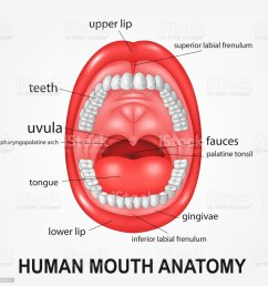 human mouth anatomy open mouth with explaining illustration  [ 1024 x 1024 Pixel ]