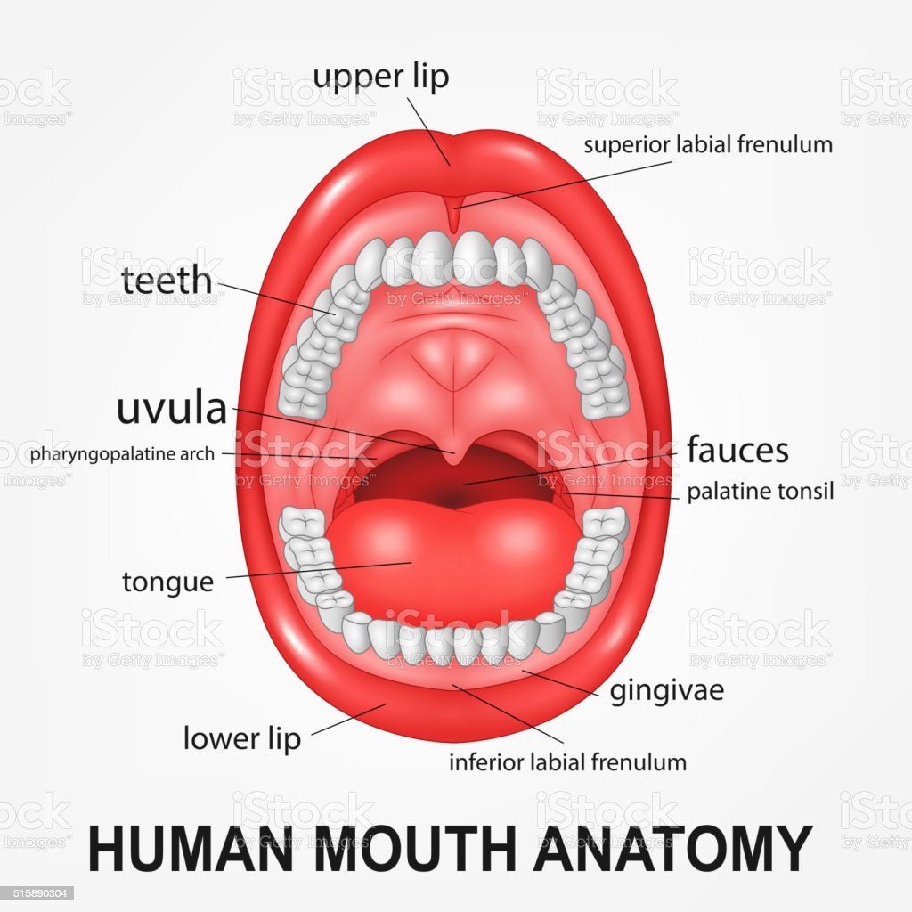 hight resolution of human mouth anatomy open mouth with explaining illustration