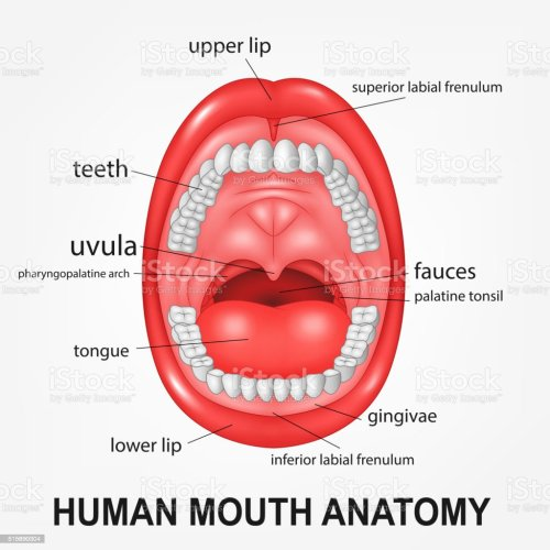small resolution of human mouth anatomy open mouth with explaining illustration