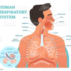 Throat Anatomy Diagram Labelled Of Agama Lizard Human Respiratory System Anatomical Vector Illustration Medical Education Cross Section With Nasal Cavity Lungs And Alveoli