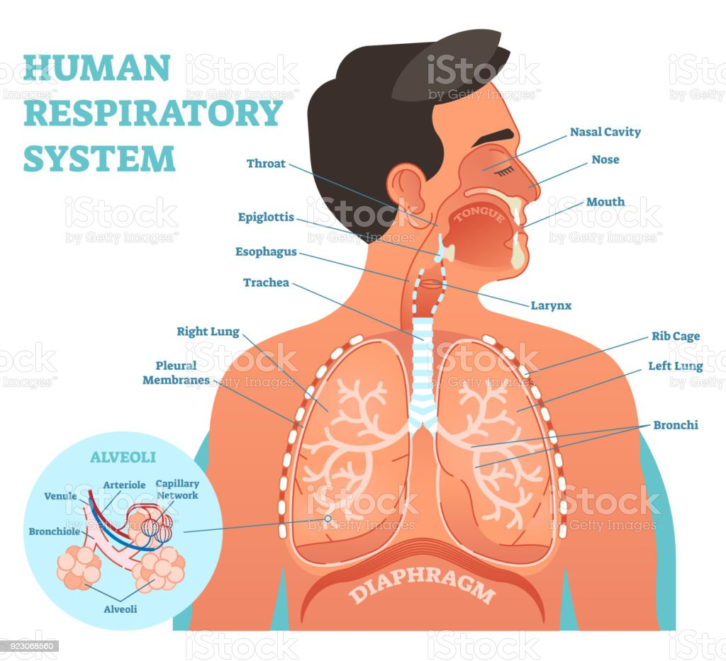 hight resolution of human respiratory system anatomical vector illustration medical education cross section diagram with nasal cavity throat lungs and alveoli