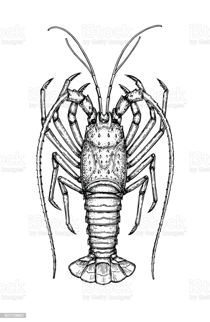 Royalty Free Spiny Lobster Clip Art Vector Images