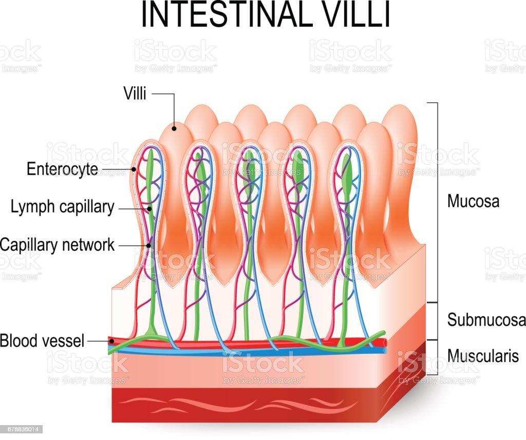 hight resolution of intestinal villi in the small intestine illustration