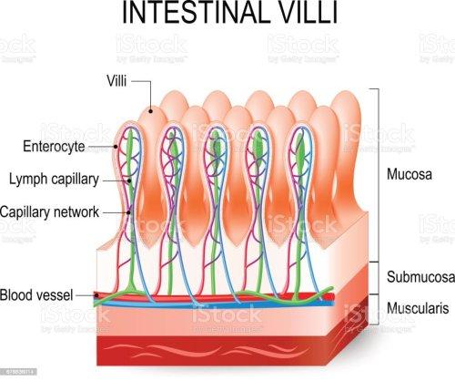 small resolution of intestinal villi in the small intestine illustration