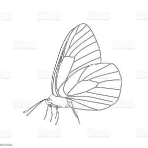butterfly side drawing outline wings vector aporia