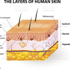Skin Cross Section Diagram Fern Parts To Label Drawing Clip Art Vector Images Layers Of Human Melanocyte And Melanin Illustration