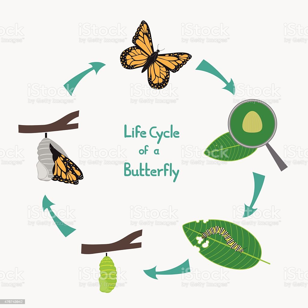 Life Cycle Of A Butterfly Diagram Stock Vector Art & More