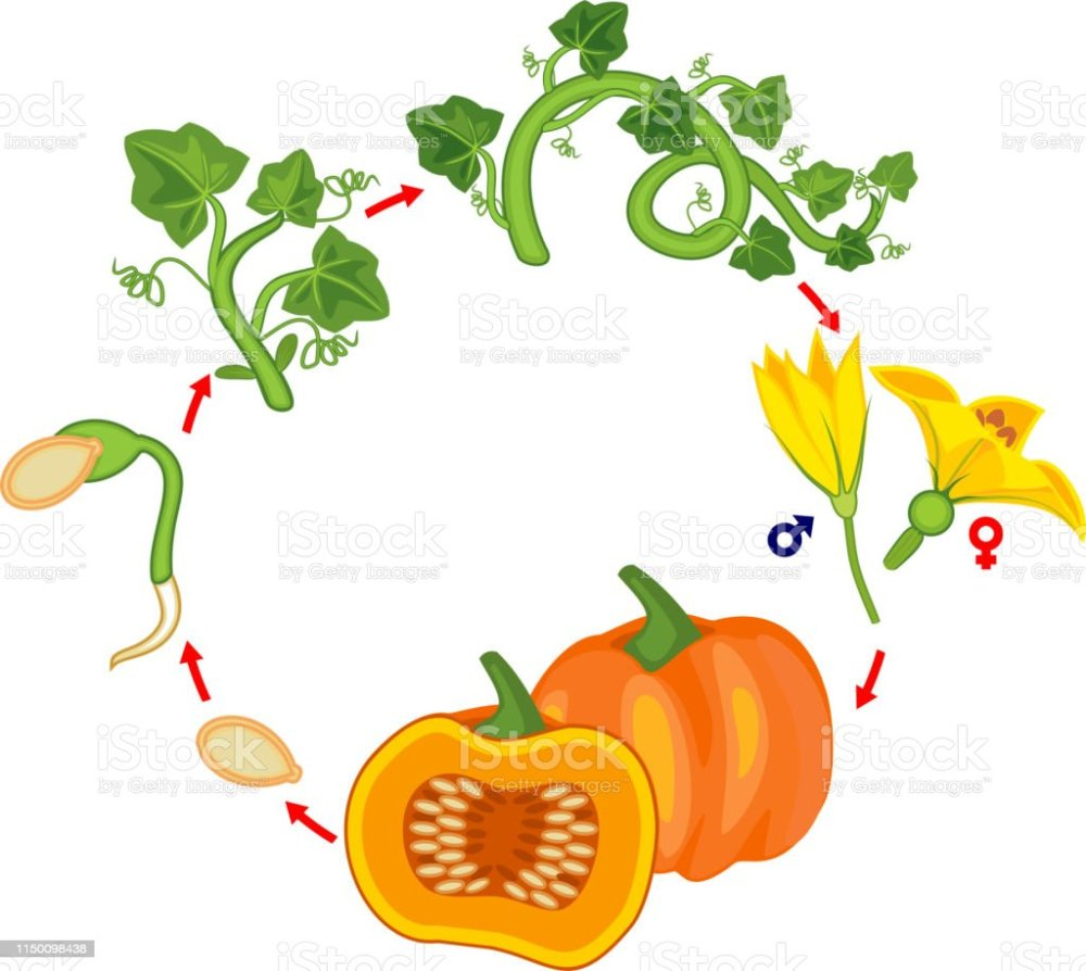 medium resolution of life cycle of pumpkin plant growth stages from seed to green pumpkin plant and harvest