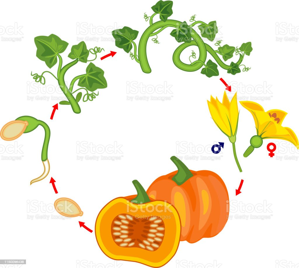 hight resolution of life cycle of pumpkin plant growth stages from seed to green pumpkin plant and harvest