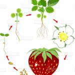 Life Cycle Of Strawberry Plant Growth Stage From Seed To Strawberry Plant And Ripe Berry Stock Illustration Download Image Now Istock